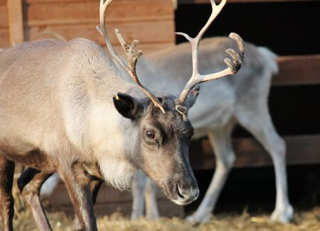domestic caribou Reindeer with antlers and big brown eyes photo