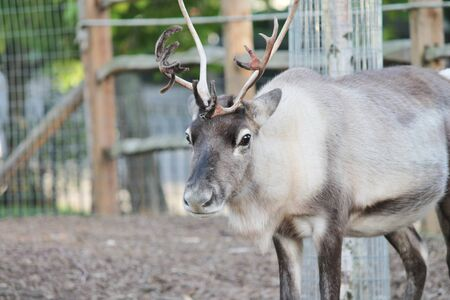 santas full grown shaggy Reindeer with peeling shedding velvet on antlers  photo