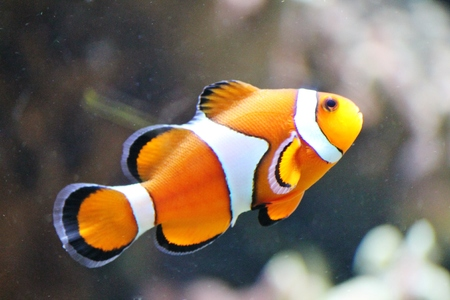 clown fish or anemone fish isolated on Blue background  photo