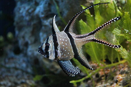 Banggai Cardinalfish in a aquarium photo