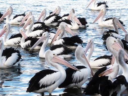 pelicans photo