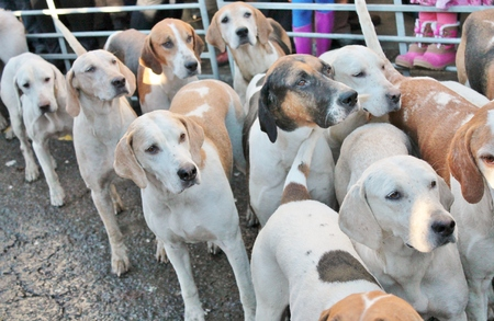hounds: Huntsman ready for the fox hunt with hounds