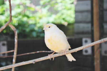 canary yellow in bird cage on twig photo