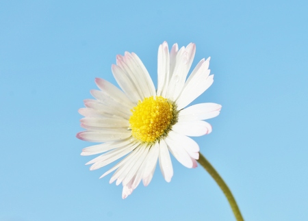 white and yellow camomile daisy flower against copy-space sky photo