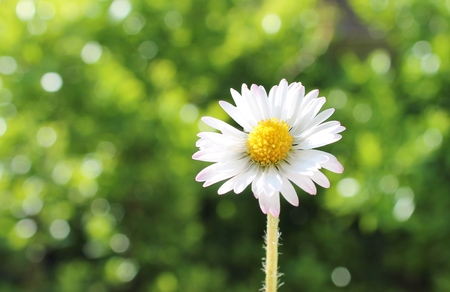 common daisy against green background with copyspace