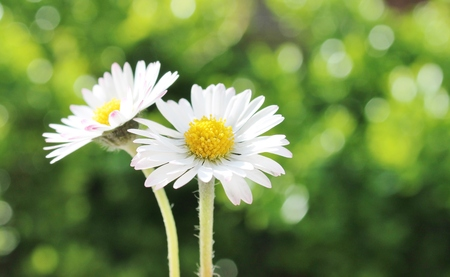 yellow white camomile daisy flower against copy-space  photo