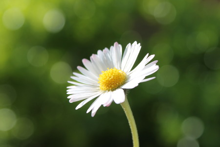 yellow camomile daisy flower against copy-space  photo