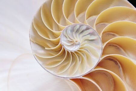 nautilus shell cross section spiral  photo