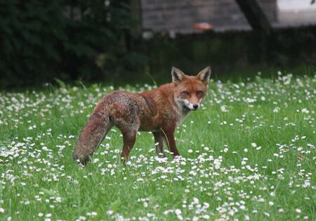 red fox in park  photo