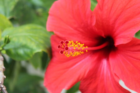 Hibiscus Flower  Shallow DOF red photo