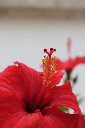 Hibiscus Flower red photo