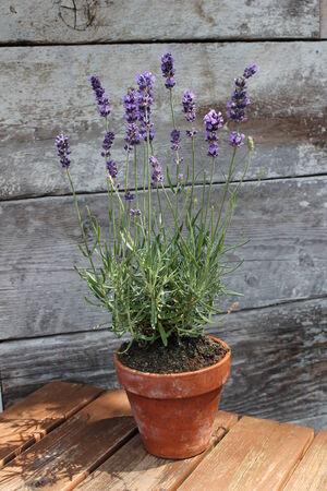 Lavender plant pot plant on table photo