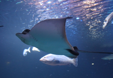 skindiver: stingray swimming gliding underwater  Stock Photo