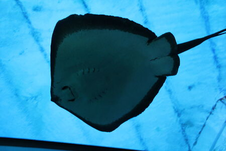 skindiver: stingray swimming gliding underwater from below Stock Photo