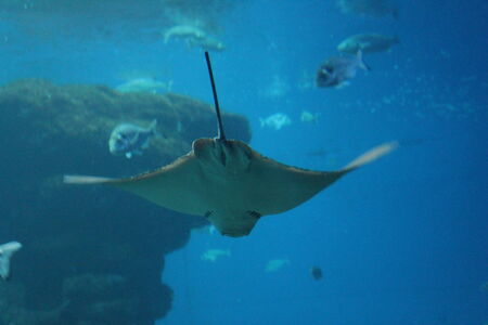 skindiver: stingray swimming gliding away underwater