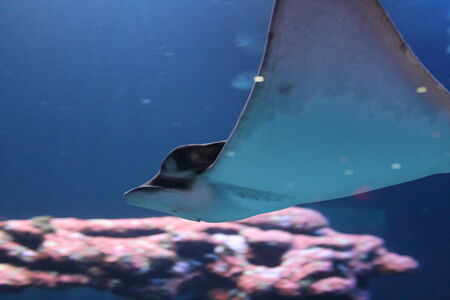 stingray swimming gliding underwater  Stock Photo