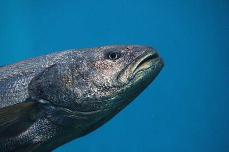 thunnus: Bluefin tuna Thunnus thynnus underwater Stock Photo