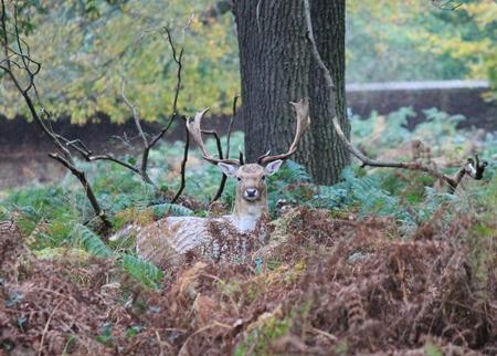 ruminants: Stag or hart red deer wild England- Cervus elaphus ruminants