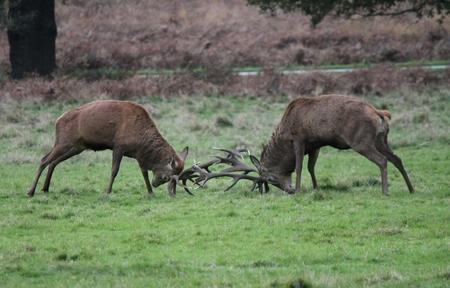 Stag or hart red deer fighting in  wild England- Cervus elaphus ruminants photo