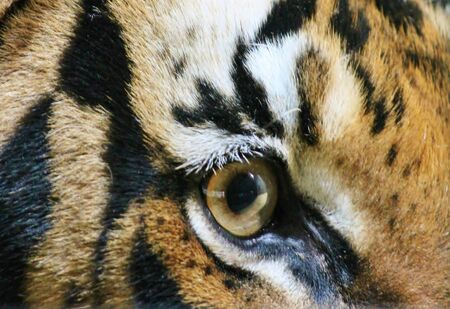 tiger close up eye, eye of the tiger photo