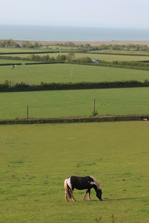 ruminate: horse grazing on the green lush meadow near the sea