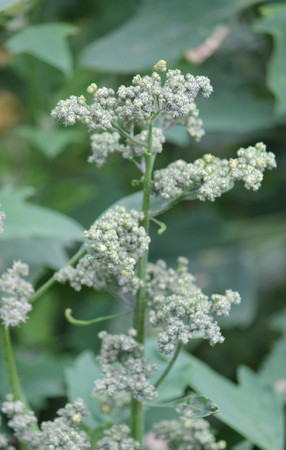Quinoa crop grows at farm superfood sprouted seed- is a species of the goosefoot genus Chenopodium quinoa, a grain crop grown primarily for its edible seeds. It is a pseudocereal rather than a true cereal, Stock Photo