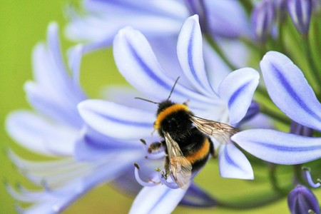 bombus: Blue,African Lily,  African agapanthus Agapathus africanus with bumble bee collecting pollen Stock Photo