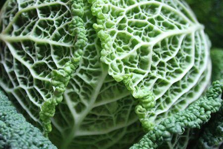 savoy: Savoy cabbage super food close up. Top view