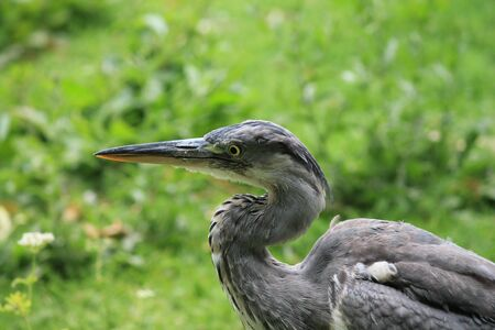 gray herons: grey heron with grass background copy space