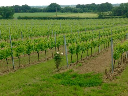 stow: Grape vines before flower self pollinating