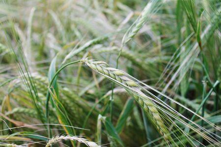 crop growing: crop growing rye wheat grain seed head