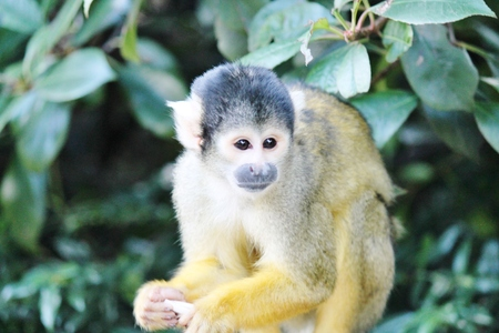 squirrel monkey from brazil climbing in trees