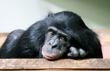 chimpanzee chimp  (Pan troglodytes) Reklamní fotografie