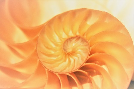 fibonacci pattern in cross section nautilus shell mollusk sea shell Banco de Imagens - 71725874
