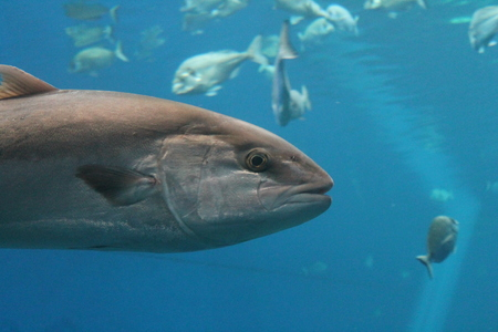 tuna fish swimming underwater known as bluefin tuna, Atlantic bluefin tuna (Thunnus thynnus) , northern bluefin tuna, giant bluefin or tunny