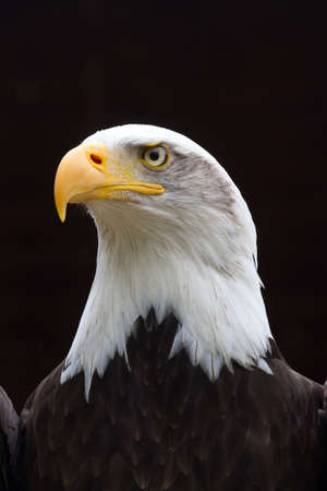 bald head: A Regal looking Bald Eagle with small rain drops on head  looking to the side with a black background