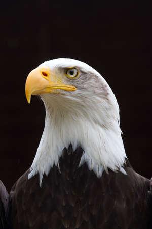 halcones: Un aspecto Regal o �guila calva con lluvia peque�a gotas en cabeza mirando hacia el lado con un fondo negro