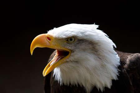 beaks: Bald Eagle guardando a sinistra del fotogramma con becco aperto durante una chiamata. Su uno sfondo nero. Copiare lo spazio di cui sopra.