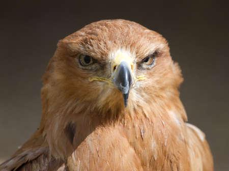 tawny: Tawny Eagle staring straight ahead.