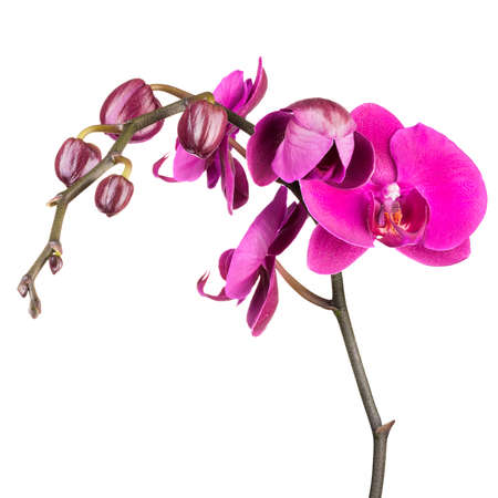 Branch of violet phalaenopsis or Moth orchid from family Orchidaceae isolated on white