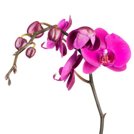 Zweig der violetten Phalaenopsis oder Mottenorchidee aus der Familie Orchidaceae isoliert auf weiß