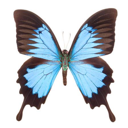 Papillon empereur bleu isolé sur fond blanc avec un tracé de détourage