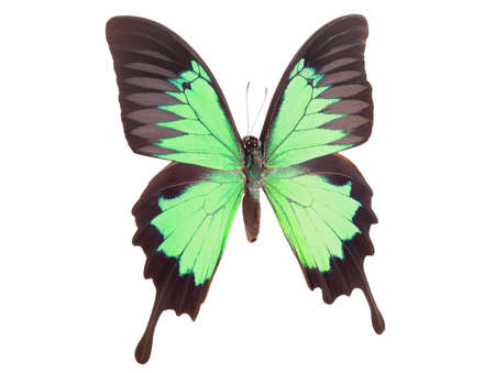 Morpho butterfly isolated on a white background with clipping path. Green Swallowtail turqouise papilio