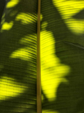 Shadows on a banana leaf, green textured background