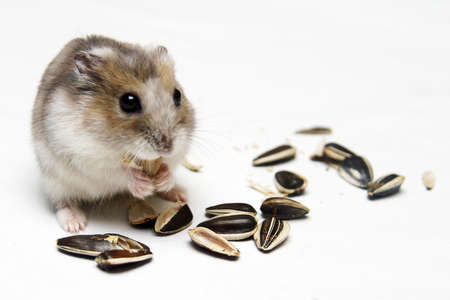 hamsters: A Dwarf Hamster Eating Melon Seeds against a white background Stock Photo