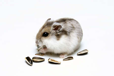 chomp: A Dwarf Hamster Eating Melon Seeds against a white background Stock Photo