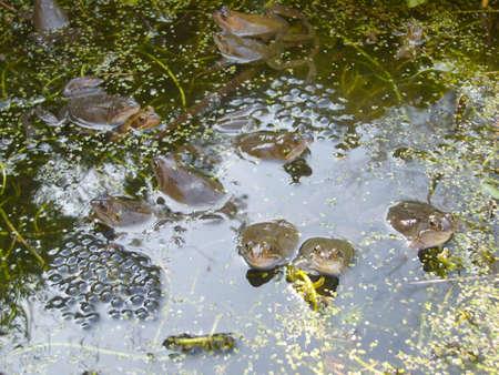 spawning: La primavera de la rana en el estanque de desove Foto de archivo