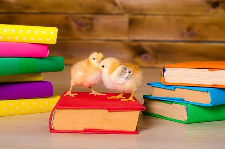 variegated: two yellow alive little chickens with pile of variegated books closeup indoors Stock Photo