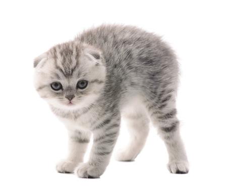 cuddled: light gray scared kitten isolated on white background