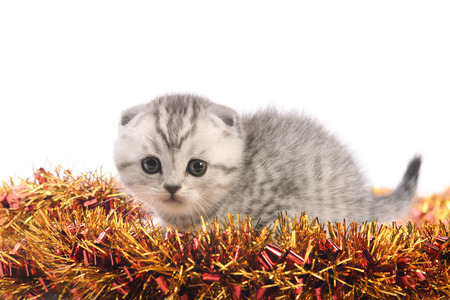 trumpery: funny light gray kitten with cuddled ears on bright new years coppery and golden tinsel on white background Stock Photo